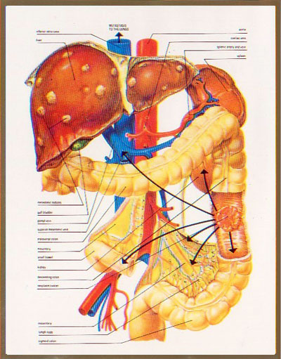 organs in digestive system. digestive system-the large